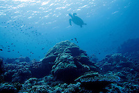 Sipadan island is known as one of the worlds top diving destinations due to its prestine coral reefs. A turtle heads for the surface for air.