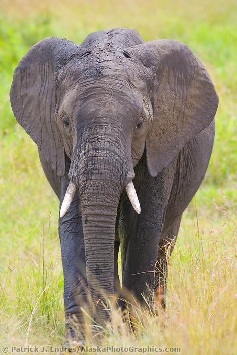 African Elephant, Masai Mara, Kenya, Africa