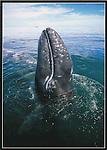 FB 330,  gray whale spy-hopping