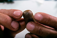 Cuba, March 1992: Finishing of the Cigar tip, In La Corona, The largest Cigar factory in Havana