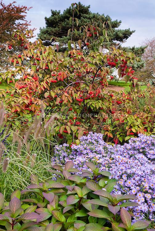 Autumn fall garden of Aster oblongifolius Raydon's Favorite similar to October Skies, Viburnum in berry and Pennisetum ornamental grass seed heads, blue sky aka more properly Symphyotrichum oblongifolium