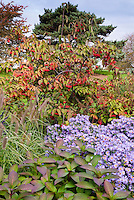 Autumn fall garden of Aster oblongifolius Raydon's Favorite similar to October Skies, Viburnum in berry and Pennisetum ornamental grass seed heads, blue sky