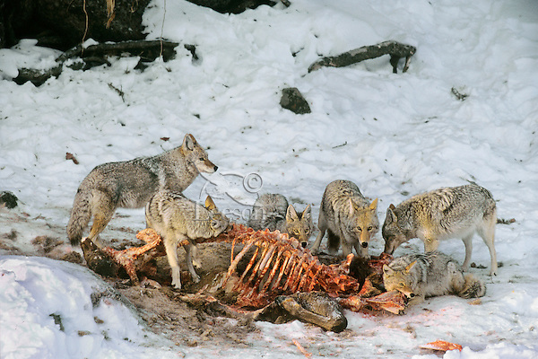 Coyotes feeding (scavenging) on elk carcass,  Western U.S., winter.  (Elk was probably killed by wolves).
