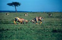 684805006 two wild topi bucks damaliscus korrigum spar on the open veldt in the masai mara reserve of keyna in east africa