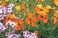 Stylomecon heterophylla - Wind Poppy native wildflower, annual flower in California native plant garden