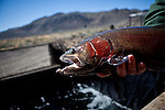A Pilot Peak strain Lahontan cutthroat trout at the Paiute indian tribe's Pyramid Lake Fisheries in  Sutcliffe, Nevada, April 18, 2013.