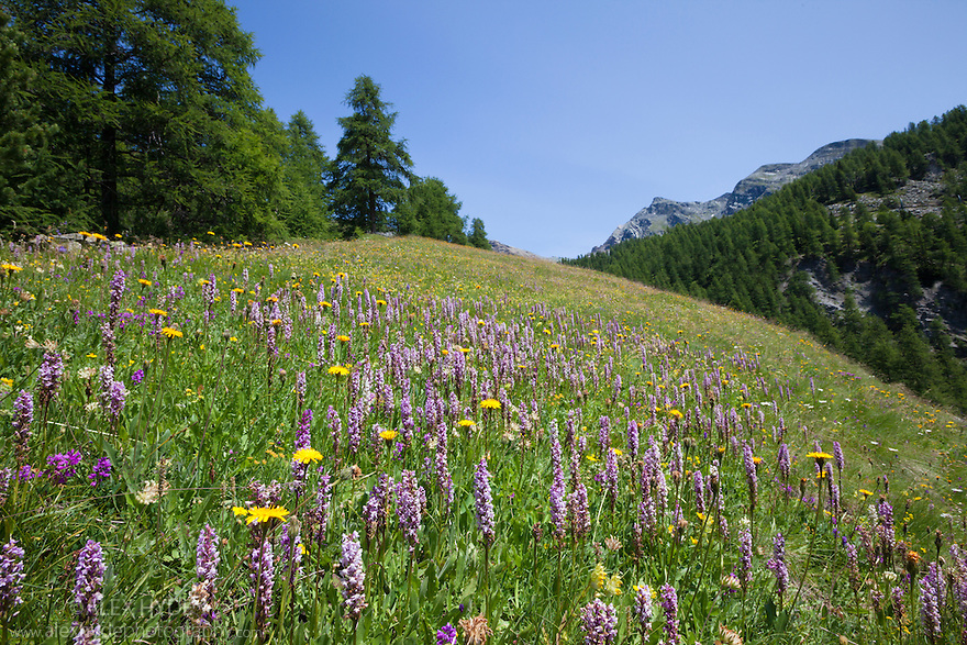 Fragrant Orchids {Gymnadenia conopsea}. Aosta Valley, Monte Rosa Massif, Pennine Alps, Italy. July.