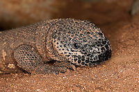 Beaded Lizard (Heloderma horridum) a venomous species, Captivity.
