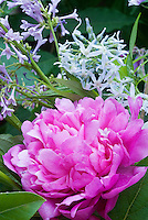 Paeonia Kansas peony with Amsonia hubrichtii, Syringa Pallibin, in early June bloom