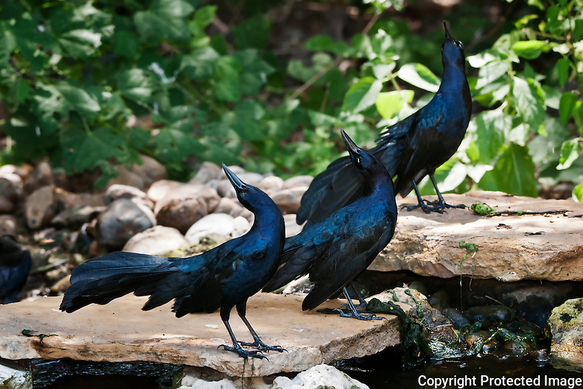 Great-tailed Grackles courting