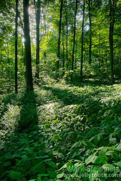 Backlit Lush Hardwood Forest Scene Mark Steinmetz