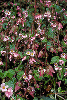 Begonia fischeri, a ruderal species (growing in human modified habitat), Atlantic forest, Serra do Mar mountain range, São Paulo State, Brazil.