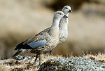 BLUE-WINGED GOOSE, Cyanochen cyanoptera, Sanetti Plateau, Bale Mountains National Park, Ethiopia, Endemic to Ethiopia Highlands, Rare, pair, two, 2, Africa
