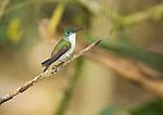 Andean emerald, Amazilia franciae. Tandayapa Valley, Ecuador