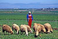 Shepherd tending his sheep, Morocco