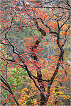 Near Vanderpool, Texas, in the heart of the Texas Hill Country, Lost Maples State Park puts on a show of reds and gold each November as the lost maples turn color.