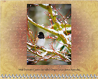 2015 Calendar - Birds of a Feather with photography by Chris Bidleman.<br /> A male Dark-eyed Junco also called Oregon Junco (Junco hyemalis) is on snow covered branch of a red Coral Bark Japanese Maple (Acer palmatum 'Sangokaku') in Winter.