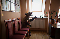 "A stuffed bear stands in the corner of Ernst Muldashev's office in the Russian Eye and Plastic Surgery Center in Ufa, Bashkortostan, Russia.  The hospital is run by Ernst Muldashev, a writer and surgeon who claims to have invented a medicine and technique using ""alloplant"" to cure a variety of illnesses, syndromes, and diseases including blindness.  Alloplant is derived from human cadavers.  Muldashev is a widely-read author of books about the origin of man. The books, widely read in Russia as science ficition and read outside of Russia primarily by new age and conspiracy theorists, claim that man is descended from aliens or giants.  Muldashev claims to have found evidence of this on exploration trips in the Himalayas.  Muldashev's medical work is widely regarded as fraudulent by outside doctors.  His cure for blindness has been shown to be a fake."