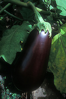 Eggplant Black Beauty growing on plant in garden