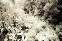 IR trees, Big Island of Hawaii
