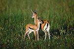 Thomsen's gazelle, Kenya