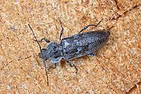 Hausbock, Balkenbock, Großer Holzwurm, Hausbockkäfer, Hylotrupes bajulus, Old-house borer, Old house borer, House longhorn beetle, European House Borer
