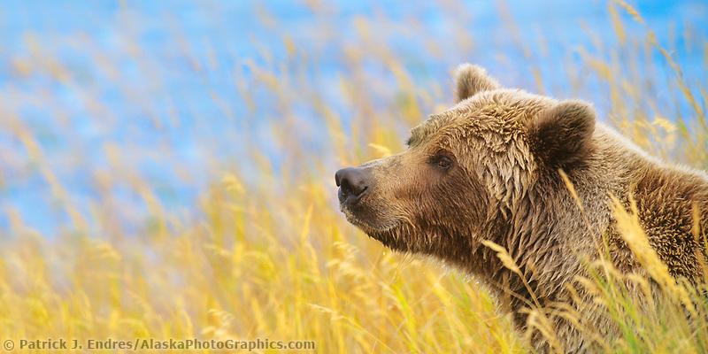 Panorama of brown bear in autumn grass, Katmai National Park, Alaska