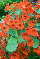 Nasturtium Empress of India in orange red flowers with leaves