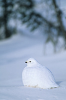 Willow Ptarmigan in winter white plumage, sits on the snow covered tundra, arctic Alaska.