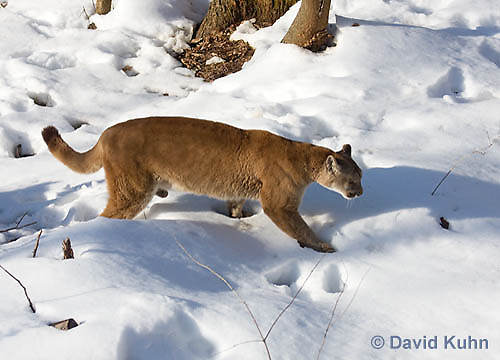 0218-1003  Mountain Lion (Cougar) in Snow, Puma concolor (syn. Felis concolor)  © David Kuhn/Dwight Kuhn Photography.