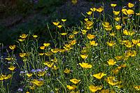 Eschscholzia parishii, Parish's Poppy yellow flowering wildflower;California native plant Anza Borrego State Park