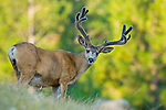 alert trophy muledeer velvet buck in native grass pine forest morning light