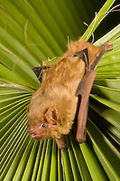 Northern Yellow Bat (Lasiurus intermedius), Texas, USA