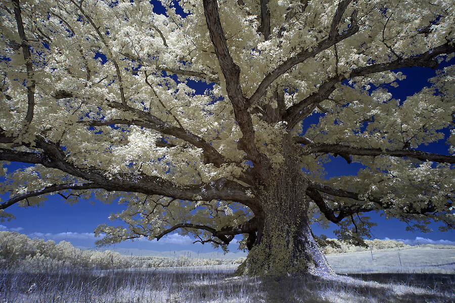 Second largest Oak in Virginia is located in Albemarle County, VA.
