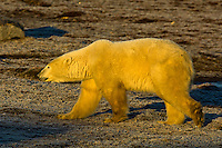 Polar bear, along Hudson Bay, near Churchill, Manitoba, Canada