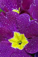 African Violet - Saintpaulia ionanti