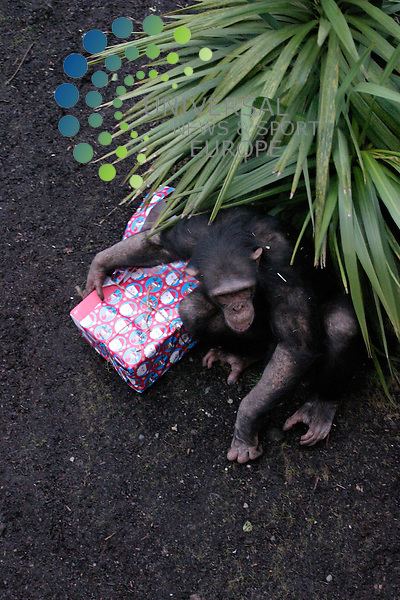 Chimps get into the swing of Christmas. .The residents of Budongo Trail, Edinburgh Zoo?s world-class chimpanzee exhibit, celebrate their first Christmas in their new home. The chimps received early Christmas presents filled with their favourite treats including peanuts, raisins, hazelnuts, sunflower seeds and dates. .The presents  mark the end of an exciting year for the chimps who moved into Budongo Trail in May. Measuring 1500m?, Budongo Trail is the largest chimpanzee enclosure in the world and also encompasses the largest climbing frame built for any ape species. Since opening, the £5.65 million enclosure has proved to be a success, for the Zoo?s 11 chimpanzees and the public. It has also attracted interest and behavioural research opportunities for primate experts from across the world....19/12/08.All pictures must be credited to  www.universalnewsandsport.com.(0ffice) 0844 884 51 22