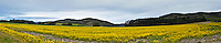 Between one harvest and the next planting this field is turned over to nature, field mustard - a non-native, but still brilliantly colorful, sign of spring along California's Central Coast.  Full image aspect ratio is approx 12.5 X 66, not a standard print size.  For print options, please contact us by email or phone.
