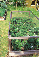 Keeping critters away from garden plants with protective structure for strawberries Fragrair, preventing animals such as rabbits, dogs, raccoons, deer, from destroying vegetables and fruits