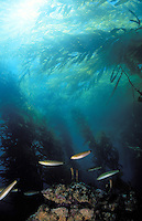 Kelp Forest towers above the sea floor - Santa Barbara, CA