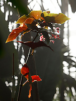 Tropical Rainforest Glasshouse (formerly Le Jardin d'Hiver or Winter Gardens), 1936, René Berger, Jardin des Plantes, Museum National d'Histoire Naturelle, Paris, France. Detail of flowers and leaves of a Begonia Angularis plant, lit by the morning light streaming through the glass and metal structure of the Art Deco glasshouse.