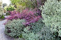 Shrub border of colorful leaf textures in San Francisco Botanical Garden using Hebe, Loropetalum, and variegated Pittosporum