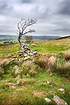 Lone Tree and Old Stone Wall in the Northumberland National Park near Rothbury Northumberland England