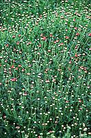 Budding mums, Chrysanthemum