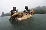 Rangers with a green turtle (Chelonia mydas). Rangers caught this big female green turtle in the pouring rain. Catching and tagging turtles, Rangers of the Tetepare Descendants&rsquo; Association routinely catch and tag green and hawksbill turtles, which feed in the waters of Tetepare Island. The.aim of the work is to keep a record of the numbers of turtles and turtle species in.Tetepare&rsquo;s waters, and link the work of the Tetepare Descendants&rsquo; Association&rsquo;s with that of international organizations like WWF.
