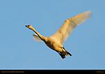 Tundra Swan, Sunset Flight, Whistling Swan, Lodi, California