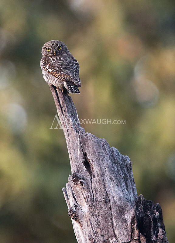 A Jungle owlet perches near the road in Kanha National Park.