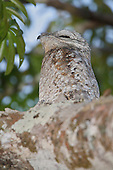 Great Potoo (Nyctibius grandis), Manu National Park, Peru.