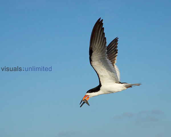 Black Skimmer ,Rynchops niger, in flight with a fish in its bill that is being taken to the young chicks on the beach. Southern USA.