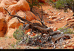 Tree Skeleton, Arches Trail, Losee Canyon Area, Red Canyon, Dixie National Forest, Utah